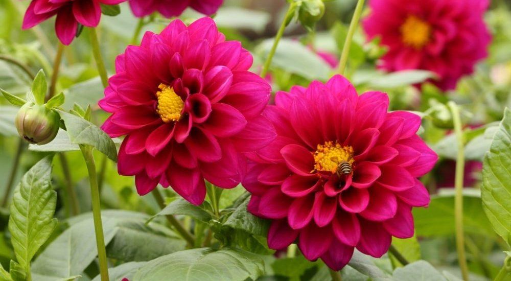 nhũng bông hoa thược dược thi nhau đua nở