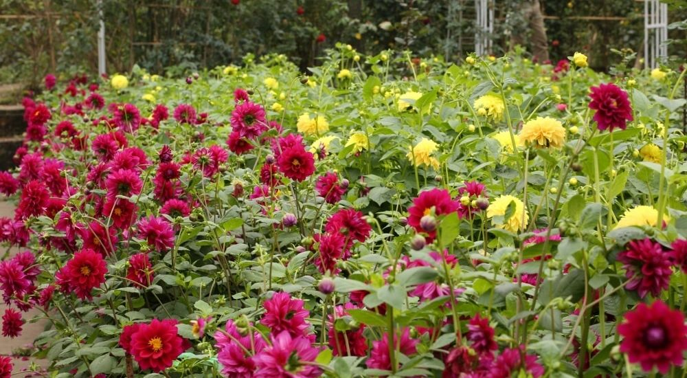 hoa thược dược khoe sắc với nhiều màu sắc