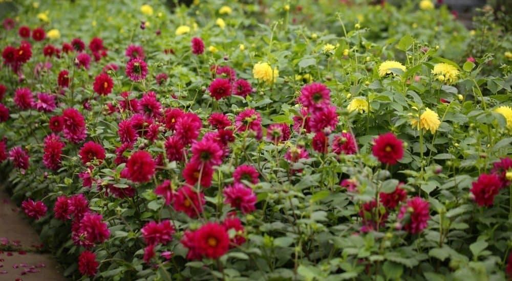 thiên đường hoa thược dược trong khu vườn