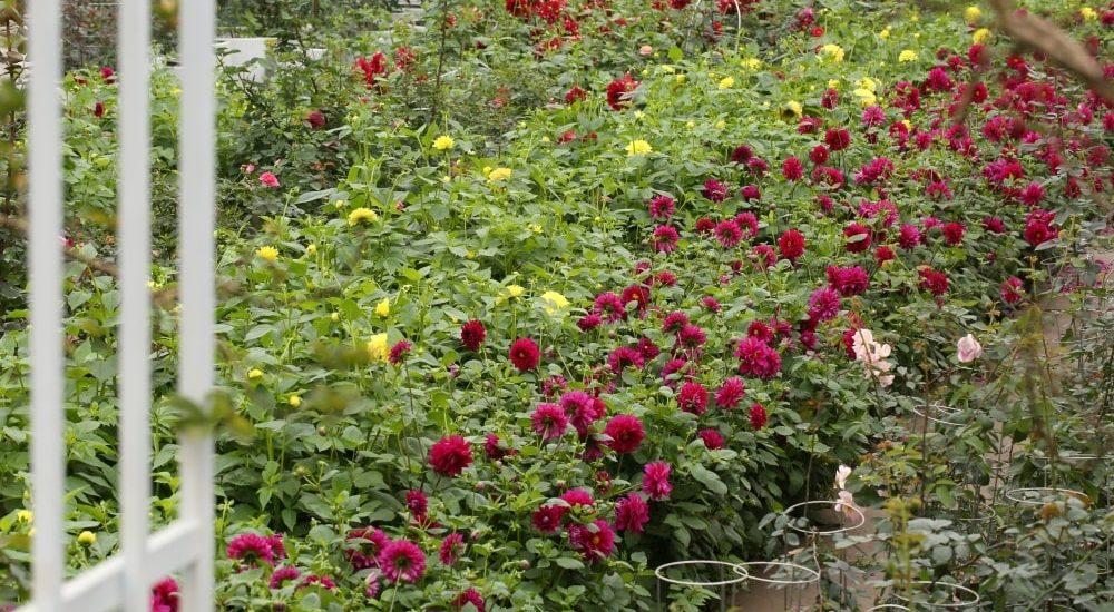 hoa thược dược trồng cả khu trước cổng nhà