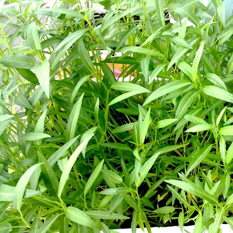 rau muống trồng trong thùng xốp