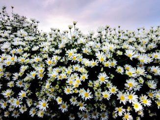 hoa cu 1