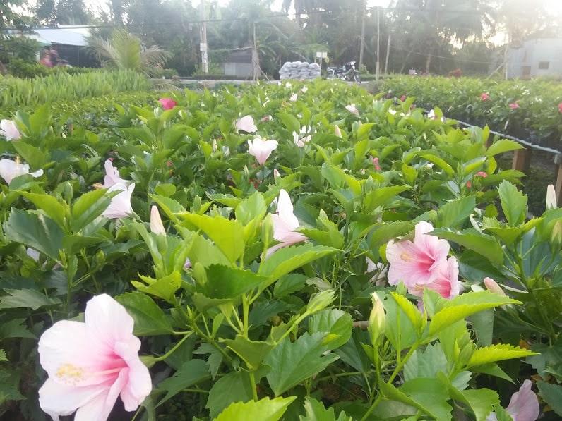 Cách trồng và chăm sóc hoa dâm bụt trong vườn