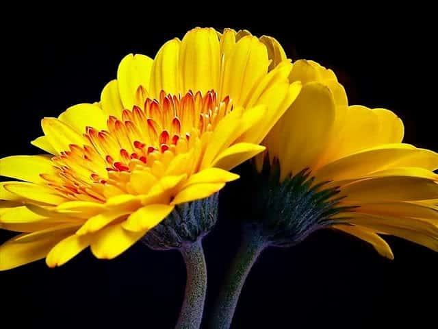 hoa đồng tiền màu vàng tuyệt đẹp