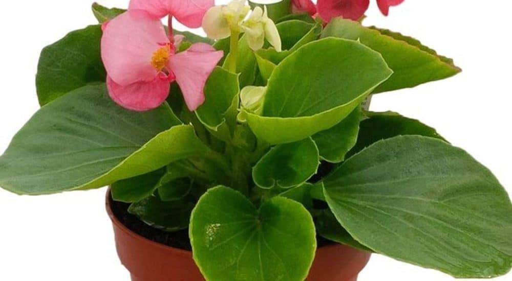 hoa thu hải đường trồng chậu