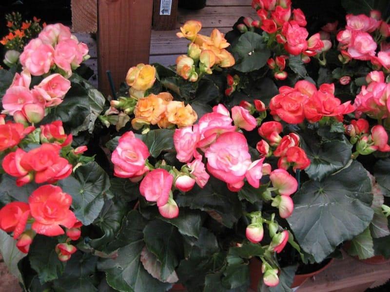 chăm sóc cây hoa thu hải đường