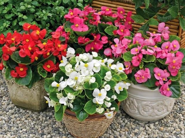 lựa chọn những chậu hoa thu hải đường đẹp