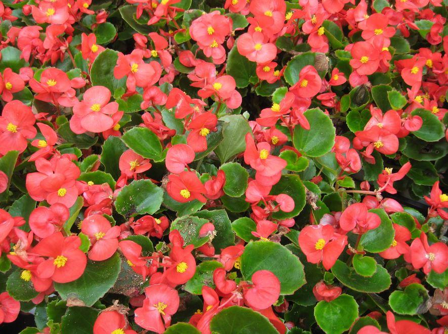 Cách chăm sóc cây hoa thu hải đường ra hoa
