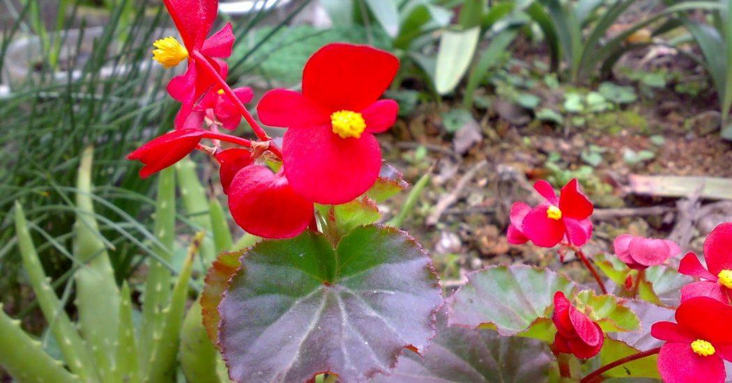 Cách trồng và chăm sóc hoa Thu Hải Đường