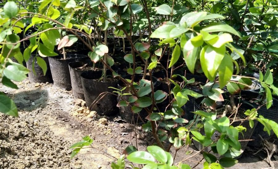 Chọn cây nhỏ có chiều cao từ 1m trở lên cho năng xuất