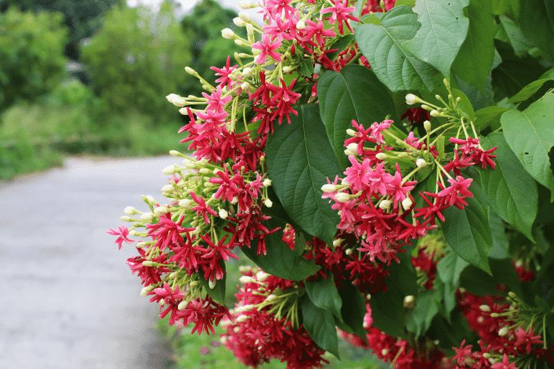 ngắm nhìn những bông hoa sử quân tử