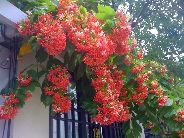 cây sử quan tử ra hoa thơm