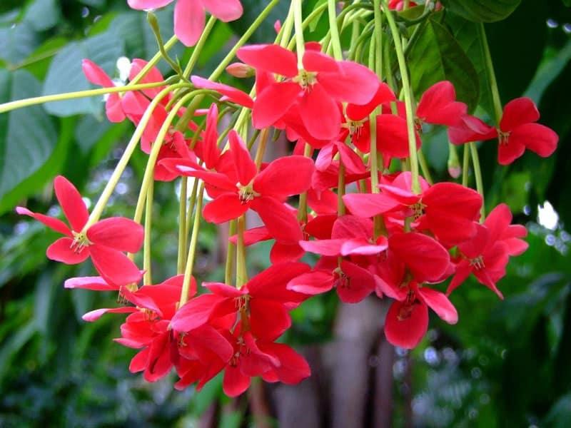 vẻ đẹp của bông hoa sử quân tử
