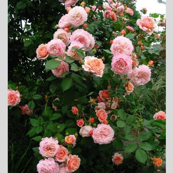 những chùm bông hoa hồng xinh đẹp
