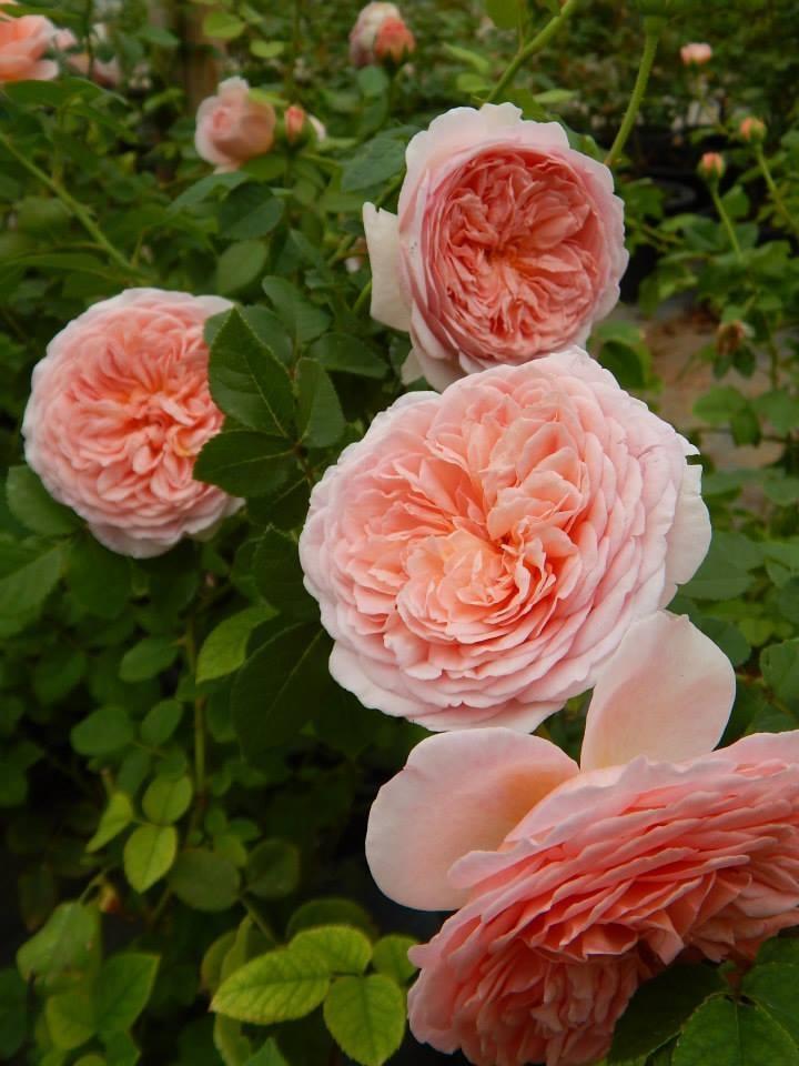 bông hoa chăm sóc Hoa hồng leo Abraham Darby rose xinh đẹp