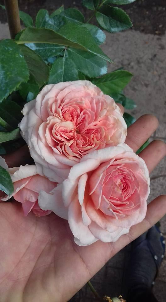 buổi sáng với những bông hoa hồng đẹp nở rất đẹp