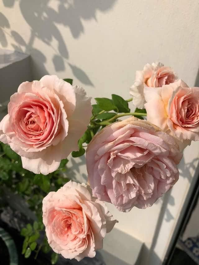một điểm nhấn mới của dòng hoa hồng đẹp