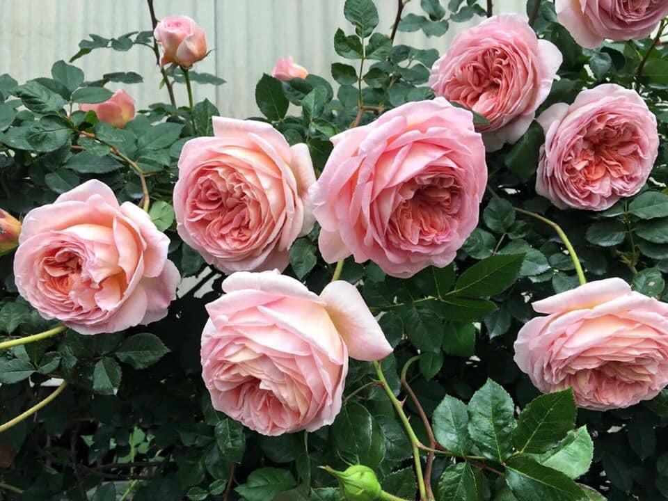 những bông hoa hồng khoe sắc sớm mai