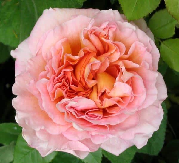 Cách Chăm sóc Hoa hồng leo Abraham Darby rose