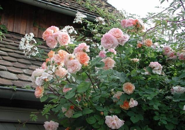 hãy cảm nhận được sự thay đổi của những bông hoa hồng