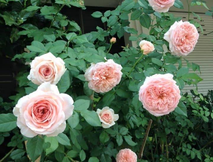 buổi sáng với những bông hoa hồng đẹp