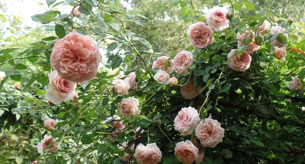 những cây Hoa hồng leo Abraham Darby rose