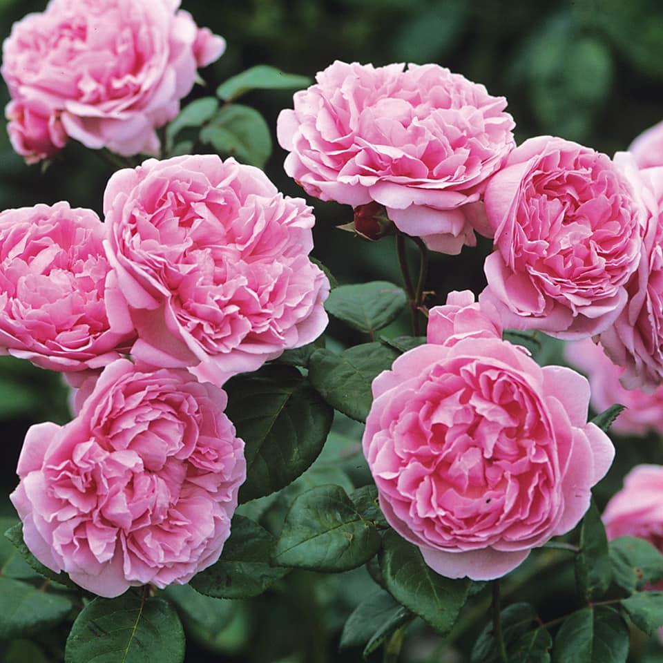 Hoa hồng Bishop Castle xinh đẹp với vẻ đẹp thuần khiết