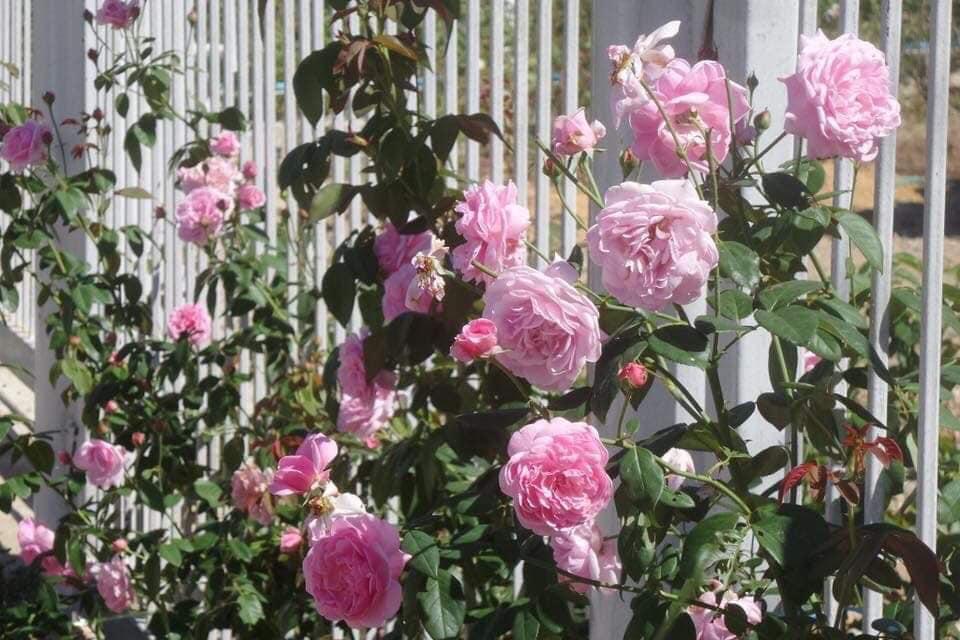 Hoa hồng Bishop Castle nở hoa quanh năm