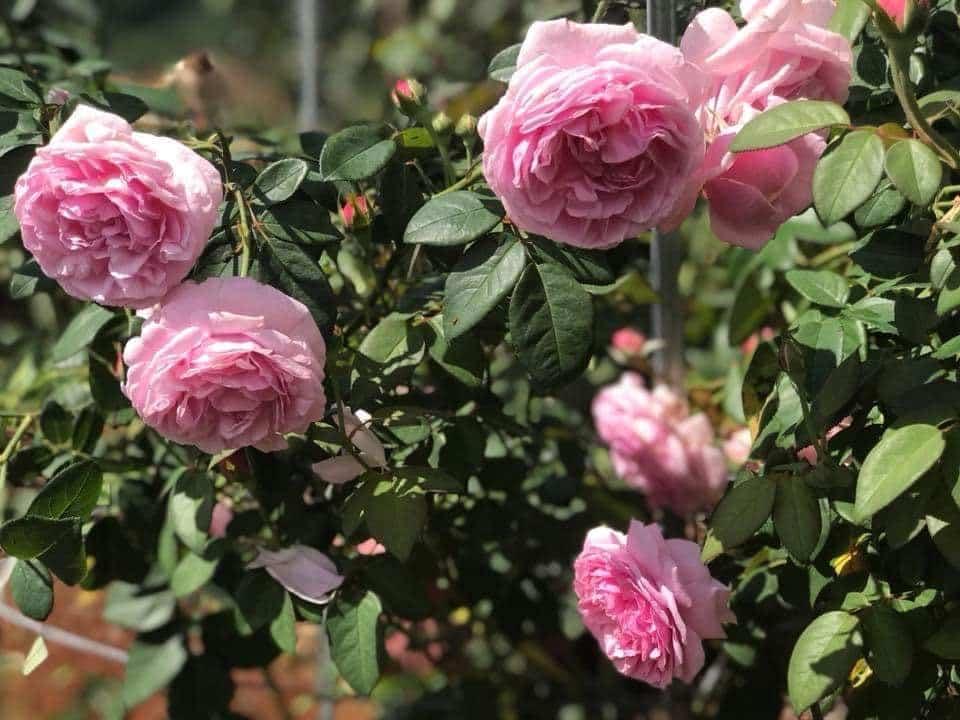 một trong những sự lựa chọn quan trọng Hoa hồng Bishop Castle