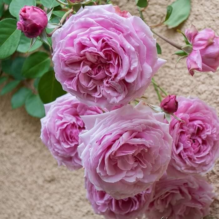 bông hoa tuyệt vời của loài Hoa hồng Bishop Castle với những chùm hoa hồng