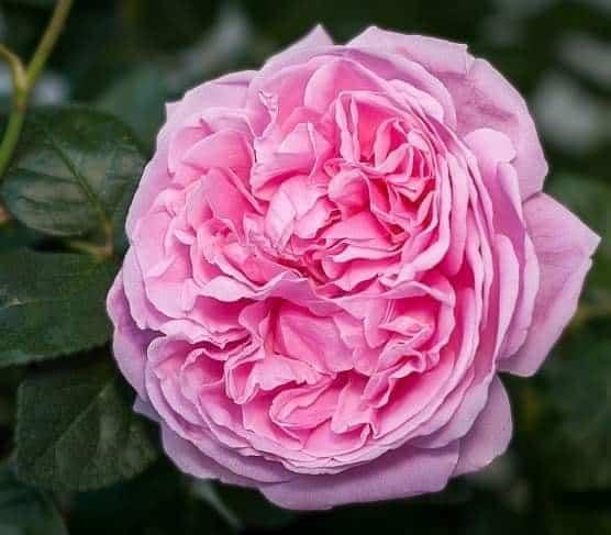 bông hoa tuyệt vời của loài Hoa hồng Bishop Castle