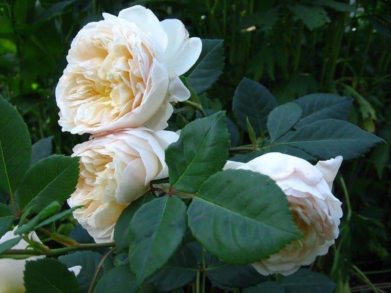 Crocus rose 1 min