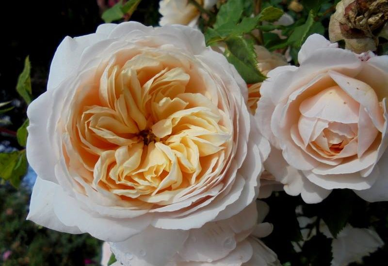 Crocus rose 2 min