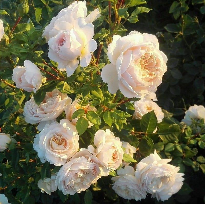 Crocus rose 3 min
