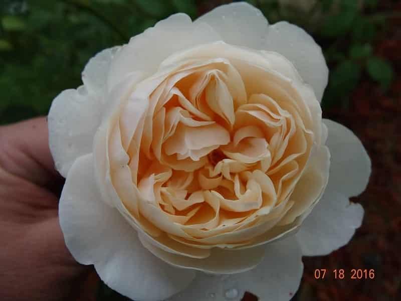 Crocus rose 4 min