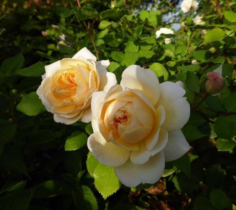 Crocus rose 5 min