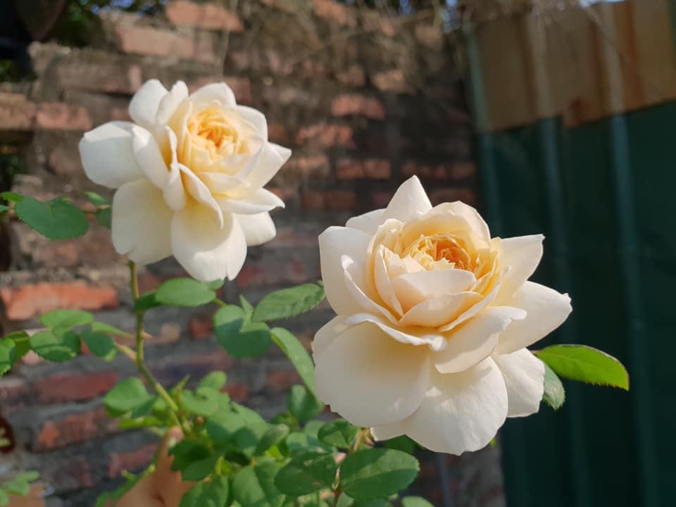 Cách Chăm sóc Hoa hồng leo Crocus rose xinh đẹp
