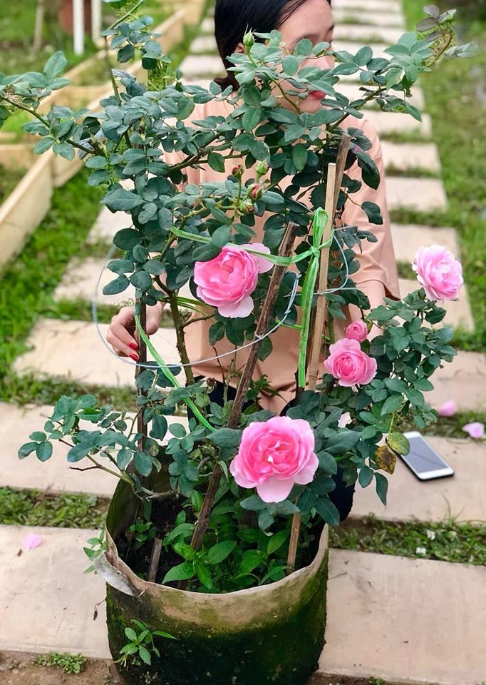 Hoa hồng Eckart Witzigmann những nụ hoa đẹp