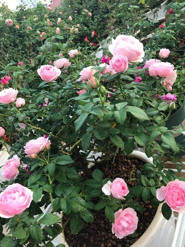 những cây hoa hồng Eckart Witzigmann phát triển cho ra hoa đẹp