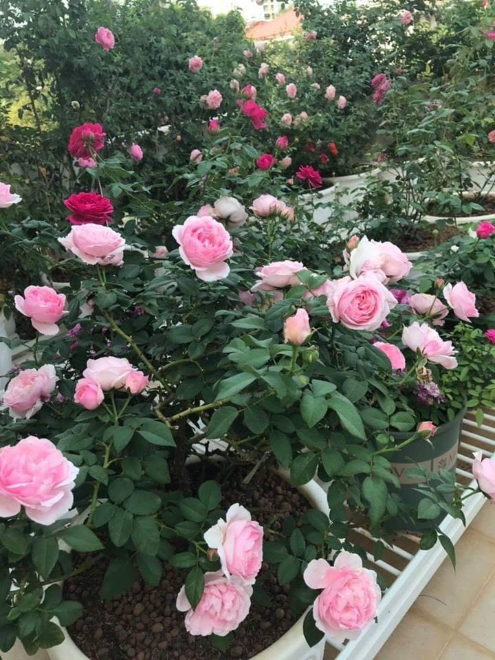 khu vườn đầy ắp những bông hoa Hoa hồng Eckart Witzigmann những nụ hoa đẹp