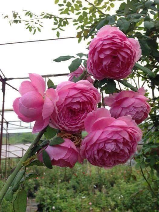 khoe sắc đẹp Hoa hồng leo Huntington Rose
