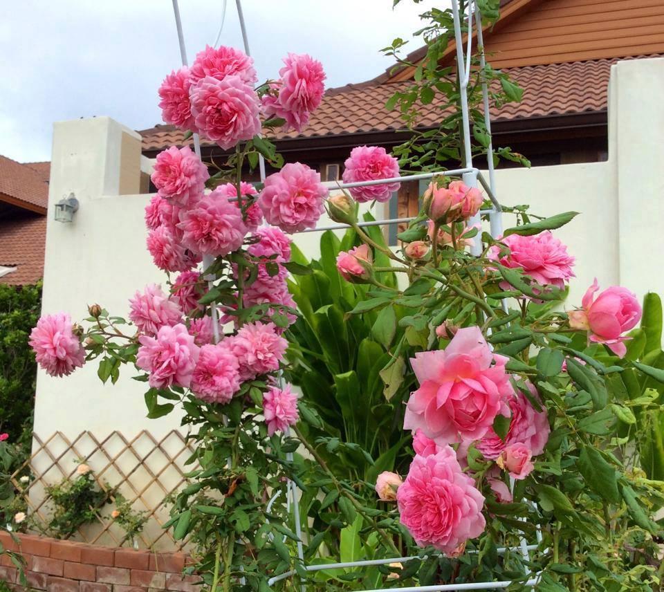 Hoa hồng leo Huntington Rose nở đẹp quanh nhà