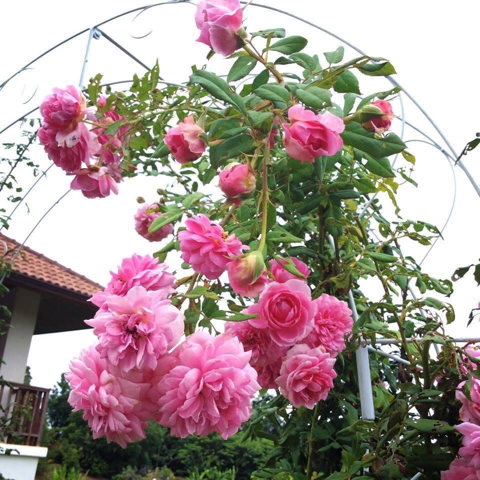 Cách Chăm sóc Hoa hồng leo Huntington Rose