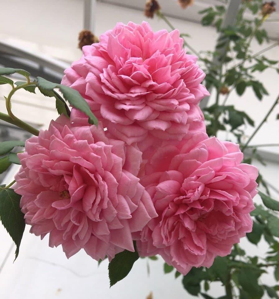 Hoa hồng leo Huntington Rose khoe sắc  tùng chùm 1