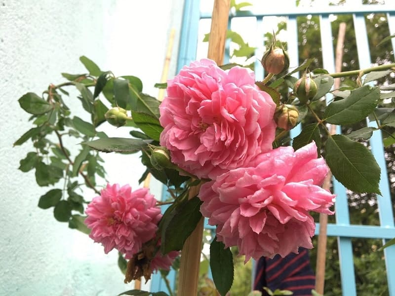 Hoa hồng leo Huntington Rose khoe sắc trong ngôi nhà