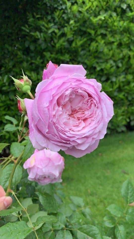 bông hoa Hoa hồng leo Spirit of freedom Rose khoe sắc hương thơm