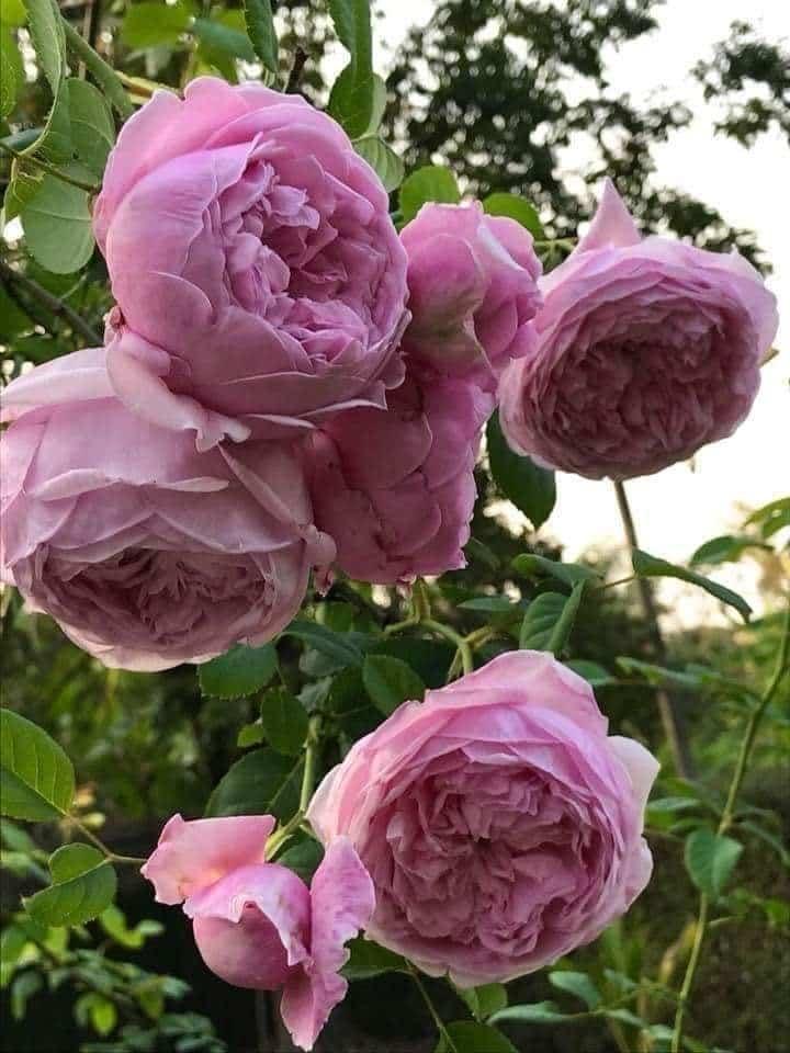 hoa hồng  leo Spirit of freedom Rose mang đến vẻ đẹp mới và hoàn toàn ấn tượng