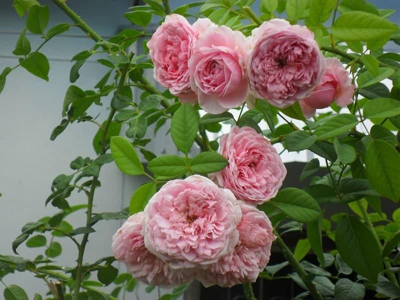 một sự thay đổi trong những bông hoa hồng  leo Spirit of freedom Rose khoe sắc hương thơm