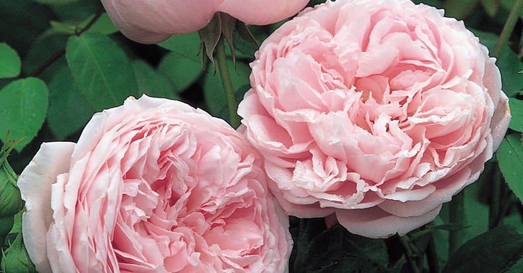 hoa hồng  leo Spirit of freedom Rose mang đến vẻ đẹp mới và hoàn toàn ấn tượng khi hoa nở rất đẹp