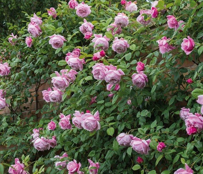 Chăm sóc cây Hoa hồng leo Spirit of freedom Rose